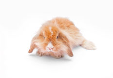Rabbit on white. Background whiskers, closeup background Stock Photography