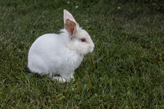 Rabbit. White baby rabbit close up Royalty Free Stock Images