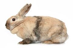 Rabbit on a white background Royalty Free Stock Photo