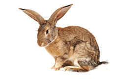 Rabbit on a white background. Sits, quiet Royalty Free Stock Photo