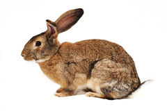 Rabbit on a white background. Sideways, looks in left Royalty Free Stock Images