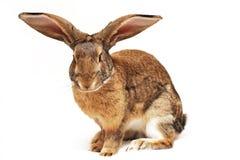 Rabbit on a white background. Sideways, looks directly Royalty Free Stock Image