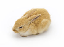 Rabbit on a white background Stock Photography