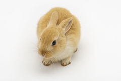 Rabbit on a white background Royalty Free Stock Images