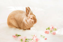 Rabbit on a white background near pink carnation flowers. On the sun Stock Images