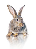 Rabbit on white background Stock Images