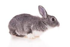 Rabbit on white background Royalty Free Stock Image