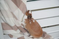 Rabbit white-brown sitting on a blanket. carefully or anxiously looking at the camera. Easter is coming. pet stock photo