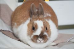 Rabbit white-brown sitting on a blanket. carefully or anxiously looking at the camera. Easter is coming. pet royalty free stock image