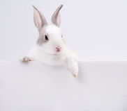 Rabbit with white card Stock Photography