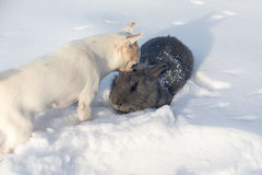 Rabbit and white Chihuahua Royalty Free Stock Images