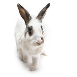 Rabbit white Cute spotted sitting on white isolated looking for Stock Photos