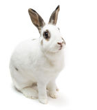 Rabbit white Cute spotted sitting on white isolated looking for food Stock Images