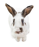 Rabbit white Cute spotted sitting on white isolated looking for food Stock Photo
