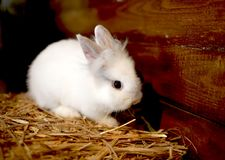 White, fluffy rabbit in the hay in the house stock photos