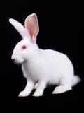 Rabbit white small fluffy. White Rabbit, a small, fluffy. Black background stock photo