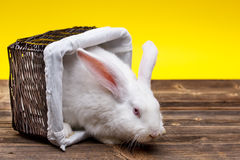 Rabbit in wicker basket Royalty Free Stock Photography