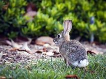 Rabbit. Wild rabbit on a green grass Stock Photography