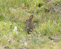 Rabbit in the wild Royalty Free Stock Photos
