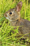 Rabbit. Wild young rabbit eating in the countryside of North Carolina stock image