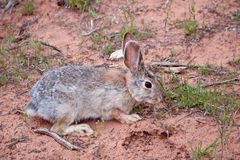Rabbit in the wilds in  Utah Stock Photo