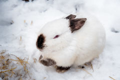 Rabbit in the winter. Gray and white bunnies in winter on snow Stock Image