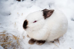 Rabbit in the winter. Gray and white bunnies in winter on snow Stock Photos