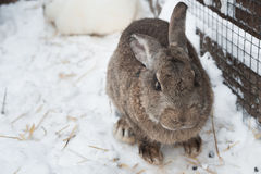 Rabbit in the winter. Gray and white bunnies in winter on snow. Bunny in the snow. Rabbit in the winter. Gray and white bunnies in winter on snow royalty free stock images