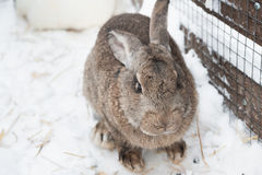 Rabbit in the winter. Gray and white bunnies in winter on snow Stock Photo