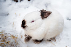 Rabbit in the winter. Gray and white bunnies in winter on snow. Bunny in the snow. Rabbit in the winter. Gray and white bunnies in winter on snow Royalty Free Stock Photos