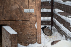 Rabbit in the winter. Gray and white bunnies in winter on snow Royalty Free Stock Photo