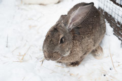 Rabbit in the winter. Gray and white bunnies in winter on snow. Bunny in the snow. Rabbit in the winter. Gray and white bunnies in winter on snow Royalty Free Stock Image