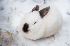 Rabbit in the winter. Gray and white bunnies in winter on snow. Bunny in the snow. Rabbit in the winter. Gray and white bunnies in winter on snow Stock Photography