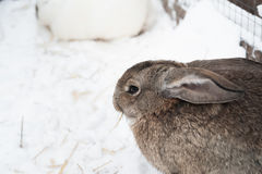 Rabbit in the winter. Gray and white bunnies in winter on snow. Bunny in the snow. Rabbit in the winter. Gray and white bunnies in winter on snow Stock Photos