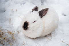 Rabbit in the winter. Gray and white bunnies in winter on snow. Bunny in the snow. Rabbit in the winter. Gray and white bunnies in winter on snow Stock Photo