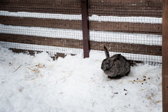 Rabbit in the winter. Gray and white bunnies in winter on snow. Bunny in the snow. Rabbit in the winter. Gray and white bunnies in winter on snow Stock Image