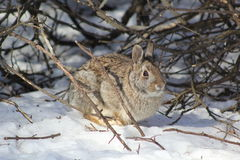 Rabbit in winter Royalty Free Stock Photography