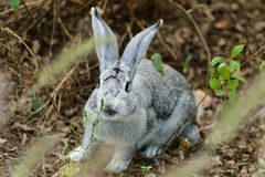 A rabbit in the wood royalty free stock photos