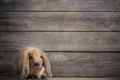 Rabbit on wooden background Royalty Free Stock Image