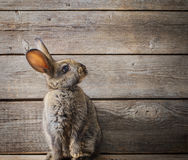 Rabbit on wooden background Royalty Free Stock Photo
