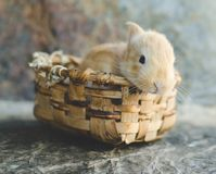 Rabbit in wooden basket in the sun with unfocused natural background. Frontal Plan closely. Small candy colored rabbit in wooden basket in the sun with stock image
