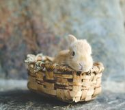 Rabbit in wooden basket in the sun with unfocused natural background. Frontal Plan closely. Small candy colored rabbit in wooden basket in the sun with royalty free stock photography