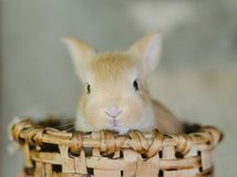 Rabbit in wooden basket in the sun with unfocused natural background. Frontal Plan closely. Small candy colored rabbit in wooden basket in the sun with royalty free stock photo