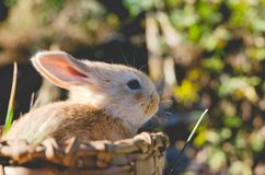Rabbit in wooden basket in the sun with unfocused natural background. Frontal Plan closely. Small candy colored rabbit in wooden basket in the sun with stock images
