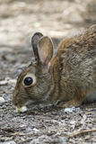 Rabbit in the woods Royalty Free Stock Images
