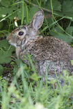 Rabbit in the woods Royalty Free Stock Photography