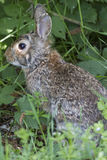 Rabbit in the woods Royalty Free Stock Photos