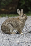 Rabbit in the woods Royalty Free Stock Photo