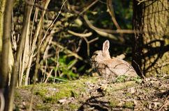 Rabbit in the woods Stock Photography