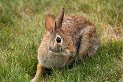 Rabbit in the yard Stock Image